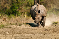 Rhino charging Stock Image