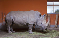 Rhino chews grass  Stock Images