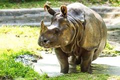 Rhino in chiangmai zoo chiangmai Thailand Stock Image