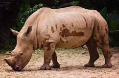 Rhino chilling. Chilling rhino feeling down in the evening stock photos
