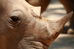 Rhino Close Up Stock Photos
