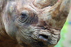 Rhino. Close up of a rhino Royalty Free Stock Image