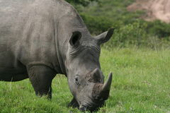 Rhino Close-up. White Rhino up close looking at the camera Stock Photo