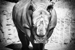 Rhino. A close up of a rhinoceros stock photography