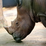 Rhino. Close-up View of a Rhino Royalty Free Stock Image
