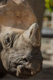 Rhino Closeup Stock Images