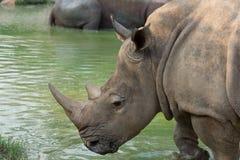 Rhino. Closeup White Rhino Head with pond Stock Photos