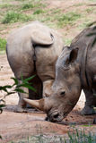 Rhino Couple Royalty Free Stock Photo