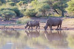 Rhino cow and calf drinking water Royalty Free Stock Image