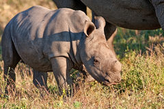 Rhino cow and calf in nature Royalty Free Stock Images
