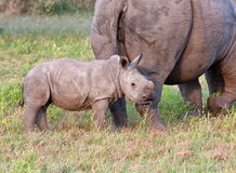 Rhino cow and calf in nature Stock Images