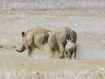 Rhino cow chasing other rhino with calf following. African white rhino cow chasing away invading adult rhino, with rhino calf following, dust flying Stock Images