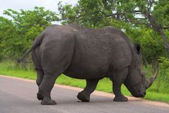 Rhino crossing Royalty Free Stock Photo