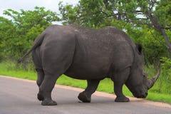 Rhino crossing. Rhinoceros crossing the road Royalty Free Stock Photo