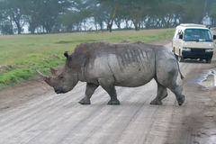 Rhino crossing the road Royalty Free Stock Images