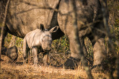 Rhino cub with its mother. A rhino cub watching around under the supervision of its mother Stock Images
