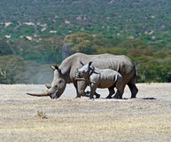 Rhino. With cub in the national park Solio royalty free stock photo