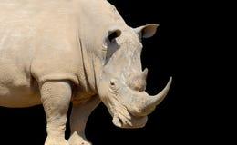 Rhino on dark background. African white rhino on dark background, National park of Kenya royalty free stock photos