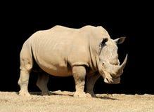 Rhino on dark background. African white rhino on dark background, National park of Kenya royalty free stock photo