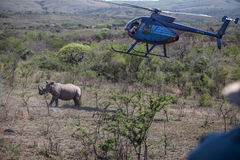 Rhino darting in South Africa with helicopter Royalty Free Stock Images