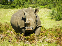 Rhino1 Stock Photos