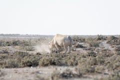 Rhino in the desert of namibia Stock Photos
