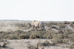 Rhino in the desert of namibia Royalty Free Stock Photography