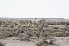 Rhino in the desert of namibia Royalty Free Stock Photos