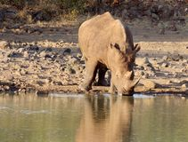 Rhino drinking. Rhino at the water hole in the early morning - Mkuze game reserve Stock Photo