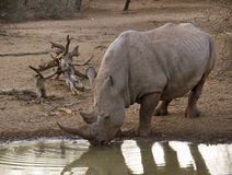 Rhino drinking at waterhole Stock Photos