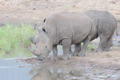 Rhino Duo at Waterhole Royalty Free Stock Image