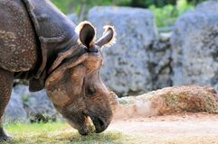 Rhino Eating Royalty Free Stock Photo