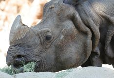 Rhino eating. Animal series- rhino eating grass Royalty Free Stock Images