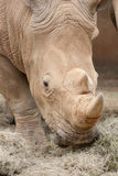 Rhino eating Royalty Free Stock Photography