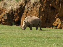 Rhino eating. Grass in Cabarceno Park Stock Photography