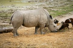 Rhino eating african rhinoceros stand up Royalty Free Stock Photos