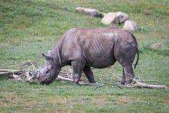Rhino. Eating close up shot Royalty Free Stock Photos