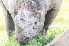 Rhino. Eating close up shot Royalty Free Stock Image