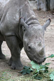 Rhino eating fresh leaves Stock Images