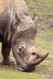 Rhino eating grass Stock Photo