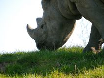 Rhino Royalty Free Stock Image
