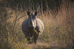 Rhino eating grass in Africa Royalty Free Stock Photos