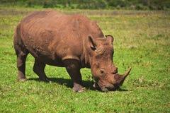 Rhino Eating Grass. Rhino covered in mud eating grass Stock Photo
