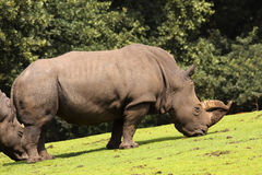 Rhino eating grass on the field Royalty Free Stock Photo