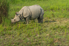 Rhino eating grass Royalty Free Stock Image