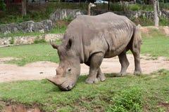 Rhino. Eating grass in the zoo Stock Photo