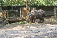 Rhino eating hay Royalty Free Stock Photo