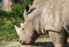 Rhino eating Stock Images