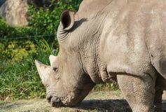 Rhino eating. At Khao Kheow Open Zoo Chon Buri Thailand Stock Images
