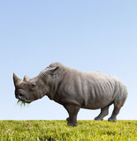 Rhino eats green grass Stock Photos